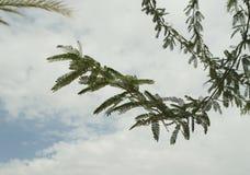 Acacia tree branch Royalty Free Stock Images