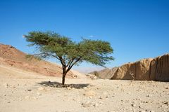 Acacia tree in the desert Royalty Free Stock Image