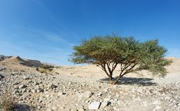 Acacia tree in the desert Royalty Free Stock Photography
