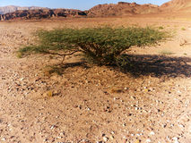 Acacia Tree in the desert. A small acacia tree in the desert with needle like leaves trying to conserve water in the arid desert environment Stock Photos