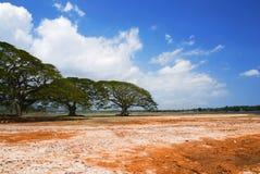 Acacia tree in desert stock image