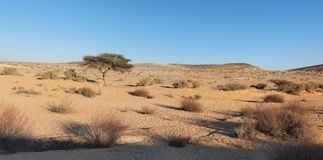Acacia tree in the desert at sunset Stock Photography