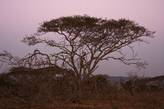Acacia Tree At Dusk. An Acacia tree, sometimes referred to as a thorntree or thorn tree, on the South African savannah after sundown. The sky is a deep purple Royalty Free Stock Photo