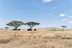 Acacia tree and Elephants Royalty Free Stock Images