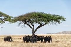 Acacia tree and Elephants Stock Photos