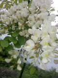 Acacia tree flower closeup Stock Photo