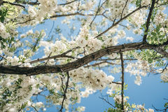 Acacia tree flowers blooming in the spring on the branches Royalty Free Stock Image