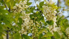 Acacia tree flowers blooming in the spring on the branches. The wind rustles the flowers of acacia stock video footage