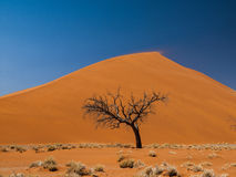 Acacia tree in front of Dune 45 in Namid desert Royalty Free Stock Photography