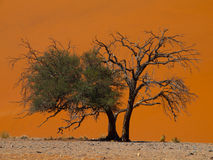 Acacia tree in front of Dune 45 in Namid desert Stock Photos