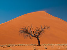 Acacia tree in front of Dune 45 in Namid desert. (Namib Naukluft National Park Namibia Stock Image