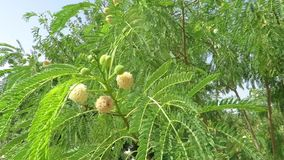 Acacia tree with fruit body stock video