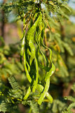 Acacia tree with green beans. In closeup Stock Images