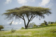 Acacia tree and green grass of Lewa Conservancy with Mnt. Kenya in background, North Kenya, Africa Royalty Free Stock Images