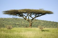Acacia tree in green grass of Lewa Wildlife Conservancy, North Kenya, Africa Stock Images