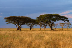 Acacia tree group at Sunset stock image