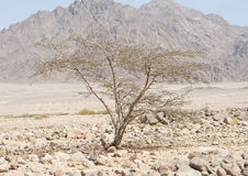 Acacia tree growing in a rocky desert Stock Photo