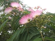 Acacia tree (Latin name: Albizia julibrissin Durazz) Royalty Free Stock Photography