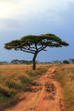 Acacia tree and long dirt road. A single acacia tree along a long dirt track road royalty free stock photo