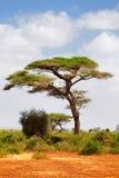 Acacia tree, Masai Mara Stock Photo