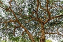 Acacia tree in Myanmar Stock Images