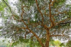 Acacia tree in Myanmar Royalty Free Stock Photography