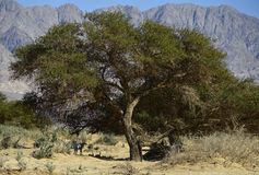 Acacia tree in Nature Reserve near Eilat, Israel royalty free stock images