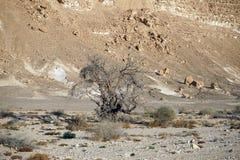 Acacia tree Stock Image