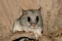 (Acacia) tree rat Royalty Free Stock Photo