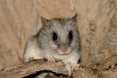(Acacia) tree rat. An Acacia (tree) rat (Thallomys paedulcus) in its natural habitat, South Africa royalty free stock photo