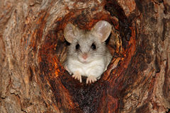 Acacia tree rat. An Acacia tree rat (Thallomys paedulcus) sitting in a hole in a tree, South Africa royalty free stock photography