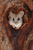 Acacia tree rat Stock Photo