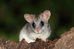 Acacia tree rat Stock Image