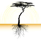 Acacia tree with a root. Vector 2d Stock Images