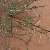 Acacia tree in Sahara desert royalty free stock photo