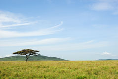 An acacia tree in a savannah Stock Image
