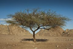 Acacia tree in the Sinai desert. Royalty Free Stock Photography