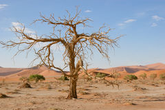 Sossusvlei, Namibia, acacia tree and dunes. Dead Acacia tree in Sossuvlei, Namib desert Royalty Free Stock Image