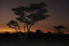 Acacia Stock Photos