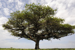 Acacia. Tree standing alone in African savannah stock photography