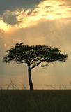 Acacia tree with stork Royalty Free Stock Photo