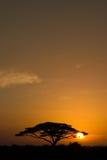 Acacia Tree at Sunrise. Beautiful african sunrise, with backlit acacia tree on Amboseli Natural Park, Kenya Stock Images