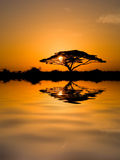 Acacia Tree at Sunrise Stock Images