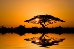 Acacia Tree at Sunrise Stock Photo