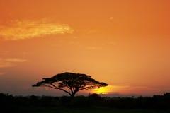 Acacia Tree at Sunrise stock photos