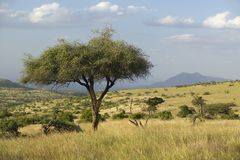 Acacia Tree at sunset at Lewa Conservancy, Kenya, Africa Stock Photos