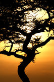 Acacia Tree Sunset, Serengeti, Africa Stock Photography