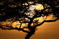 Acacia Tree Sunset, Serengeti, Africa Royalty Free Stock Photography