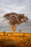 Acacia tree at sunset Royalty Free Stock Images