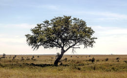 Acacia tree in Tanzania Stock Image